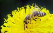 黄色の花にハチ