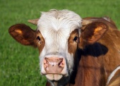 茶色と白の牛の肖像画
