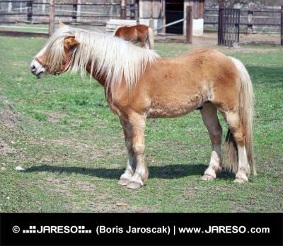 Pony in het veld