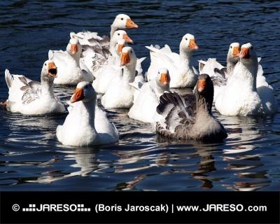 Close-up van ganzen in het water