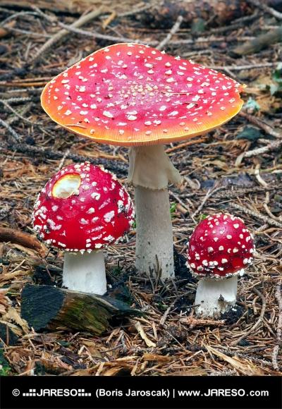 Drie Amanita muscarias in bos