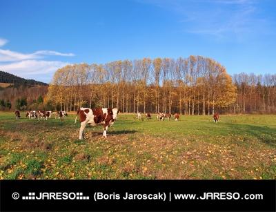 Koeien op gebied in de herfst