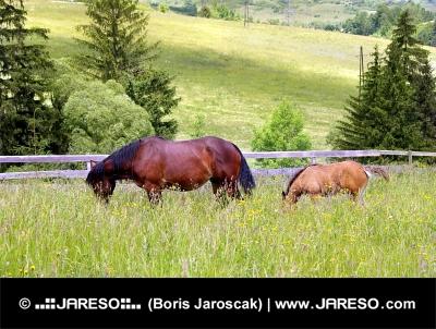 Merrie en veulen grazen in platteland