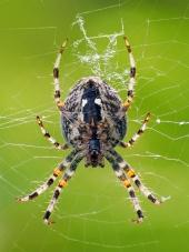Een close-up van de kleine spin weeft haar web