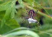 Spider op web