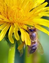 Honingbij op gele bloesem