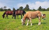 Paarden grazen