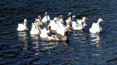 Troep van ganzen in het water
