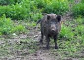 Wild varken of zwijn