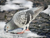 Duif proberen om voedsel te vinden op sneeuw