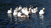 Flock of geese in water