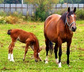 Mare and young foal grazing in field