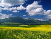 Yellow meadow and green ...