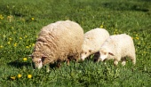 Sheep and lamb grazing