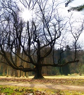 Massive tree and ...