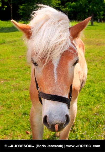 Młody koń na zielonym polu
