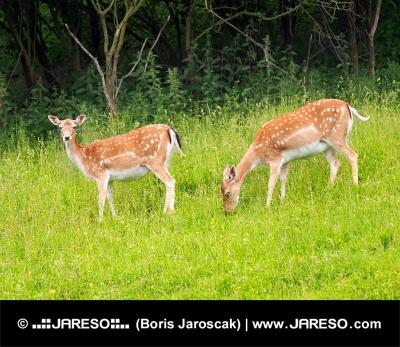 Dwa daniele jelenie na zielonej łące