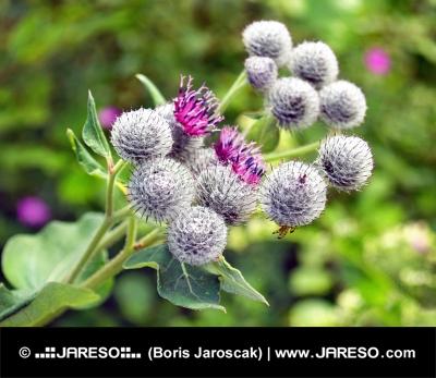 Thistle kwiaty na zielonym tle