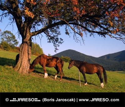 Konie pod czerwonym drzewa