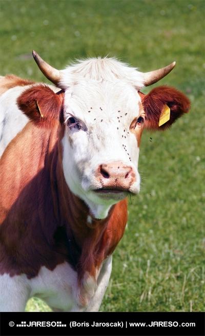 Portret krowy mleko