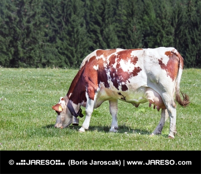 Wypasu krów na łące pod lasem
