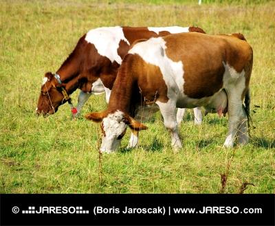 Dwie krowy