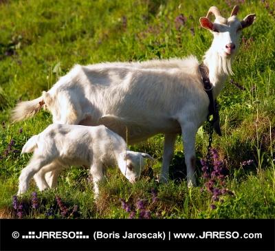 Biała koza z dzieckiem na łące