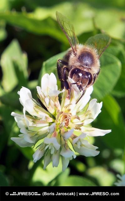 Pszczoła zapyla kwiaty