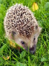 Jeż na zielonej trawie