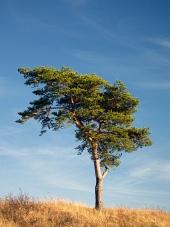 Pojedyncze drzewa iglaste w żółtym polu na niebieskim tle