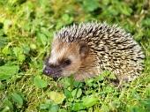 Hedgehog na zielonej trawie