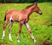 Młody koń pracuje