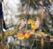 Małe ptaki żerujące na owocach