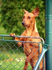Pies patrząc przez płot