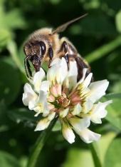 European bee zapylających kwiat koniczyny
