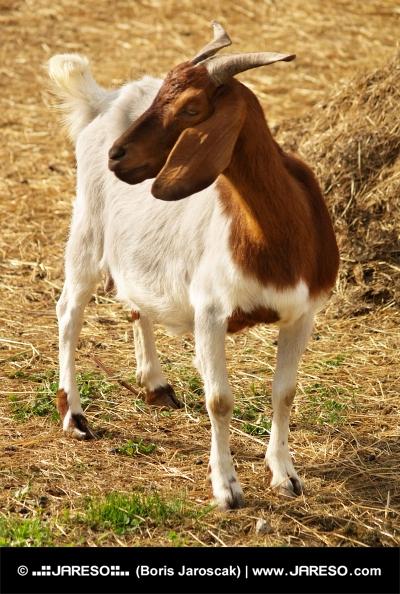 Portret de capră