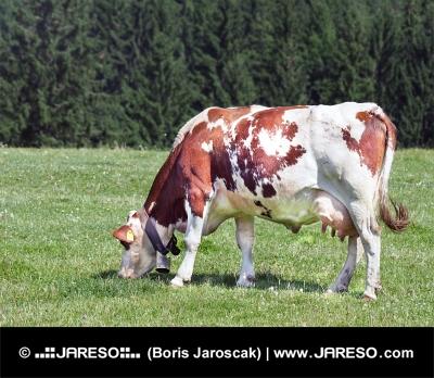 Vacă păscând pe un câmp verde, lângă pădure