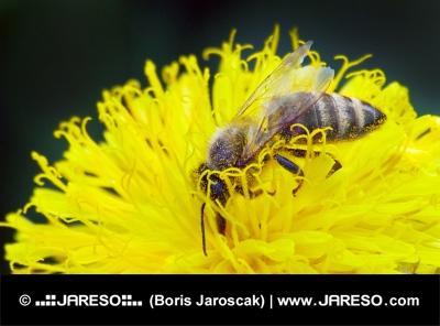 Wasp pe flori galben
