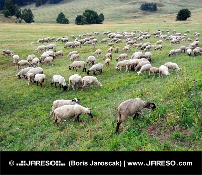 Pășunat oi pe pajiște slovacă