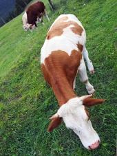 Vacă păscând pe câmp