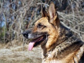 Câine ciobănesc german