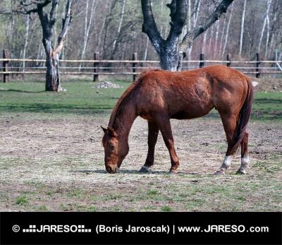 Коричневые лошади пасутся в поле