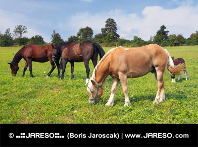 Лошади пасутся на лугу