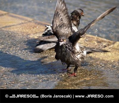 Крупным планом два голубя, принимающие ванну в фонтане