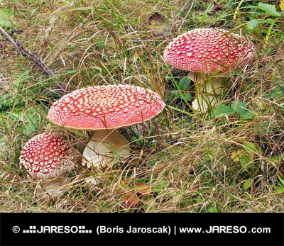 Three red Amanita muscarias in tall grass
