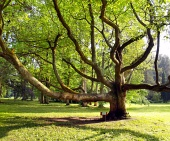 Очень старое дерево в парке