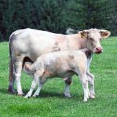 Теленок пьет молоко у коровы