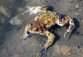 Крупным планом лягушка в воде