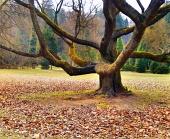 Массивное дерево в парке