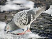 Голубь пытается найти еду на снегу